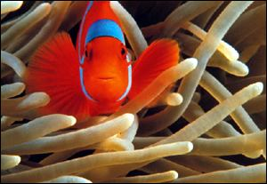 False clown anemonefish 2001 Stuart Westmorland/Stone
