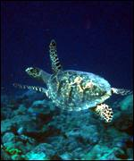 Hawksbill turtle on reef M Spalding/WCMC