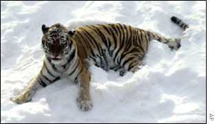 Tiger in snow AP