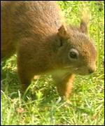 The red squirrel population in Wales is under threat