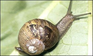 Snails will be used to gain insight into how human memory works