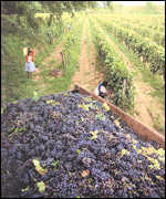 Bolivian vineyard