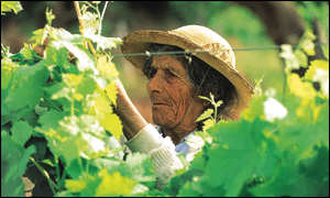Bolivian grape picker