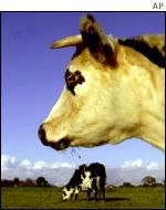 Cow suffering BSE