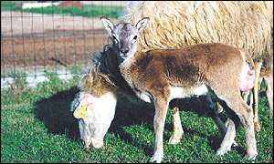 Cloned mouflon lamb and foster mother Nature Biotechnology