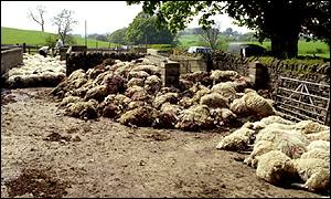 Carcasses of sheep slaughtered during foot-and-mouth outbreak in May 2001