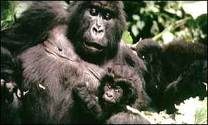Mountain gorilla BBC