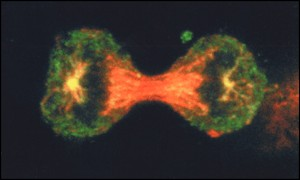 Cervical cancer cell division BBC