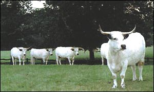 Chillingham Wild Cattle