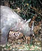 Rhino mother Yahya and Sumiadi/WWF and BTNUK