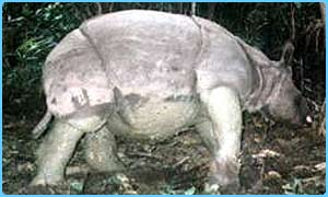 The Javan rhino