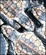Loggerhead sea turtles, Kenneth J Lohmann