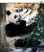 Panda eating AP