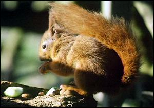 Red squirrel eating BBC