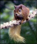 red squirrel on rope BBC