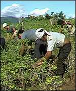 Colombian cocaine pickers