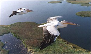 Great white pelicans: CNRS, France