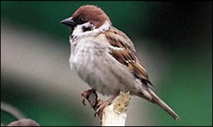 Tree sparrow, RSPBA