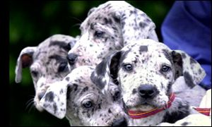 A litter of Great Dane puppies that RSPCA rescued from a cramped town house, PA