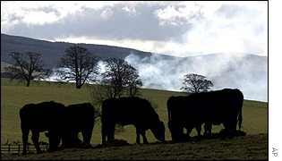 Cows grazing in front of pyres, AP