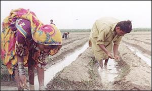 Farming in Pakistan