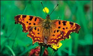 Comma butterfly, Robert Thompson/Butterfly Conservation