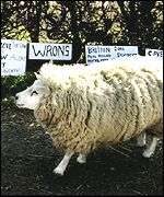 A sheep walks past signs protesting against the mass culling policy