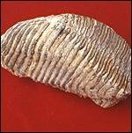 Fossilised mammoth tooth: Dr Adrian Lister