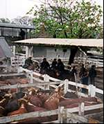 Cattle market in Buenos Aires
