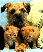 Border terrier and adopted kittens: PA