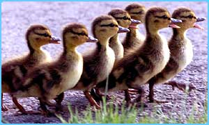 Ducklings (file pic)