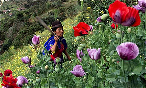 A Guambiano Indian hacks down heroin-producing poppies in Silvia, 230 miles southwest of Bogota