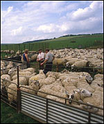 Sheep shearing in Hampshire.