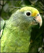 A blue-cheeked Amazonian parrot, BBC
