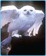 Hedwig from Harry Potter