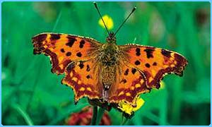 Comma butterfly (Robert Thompson/Butterfly Conservation)