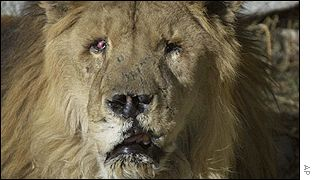 Marjan, the one-eyed lion of Kabul zoo, AP
