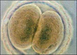 Human embryo, BBC