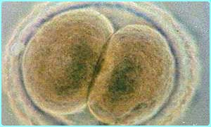 Embryo cells