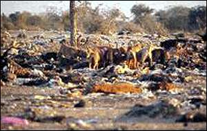 Dogs at carcase dump   Vibhu Prakash/Vulture Declines