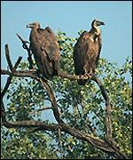 Two vultures in tree   Guy Shorrock/Vulture Declines