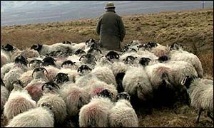 A farmer herds his sheep