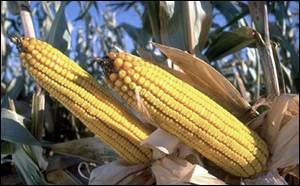 Maize cobs   Monsanto