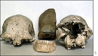 Early Homo erectus skulls, AP