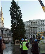The tree is lifted into place