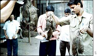 Clearing away rats in Bombay