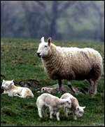 Sheep and lambs   PA