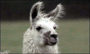 llama stock pictures