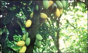 Cocoa growing in Ghana