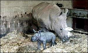 Baby white rhino and mother at Whipsnade Zoo